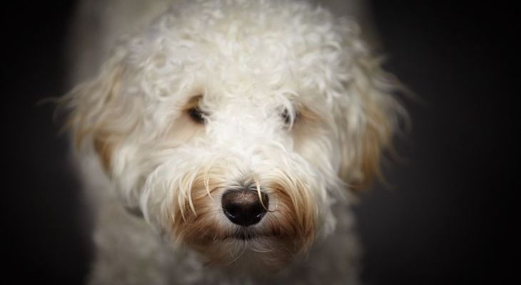 witte mini labradoodle