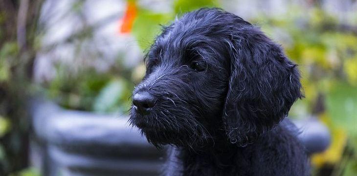zwarte labradoodle pup
