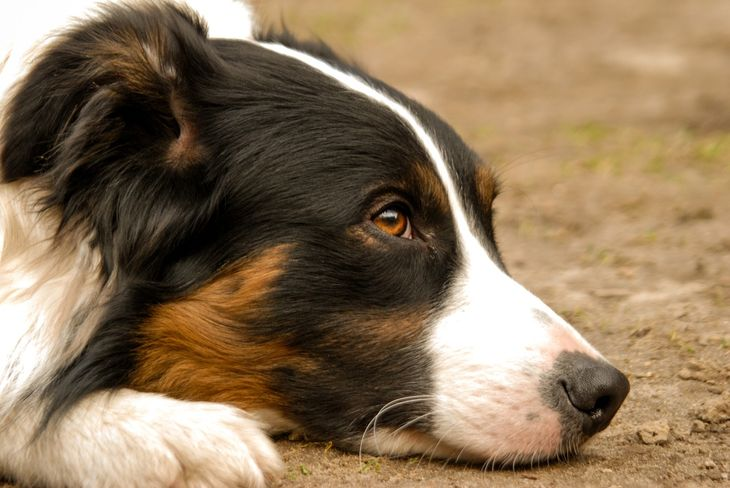 herplaatsing border collie
