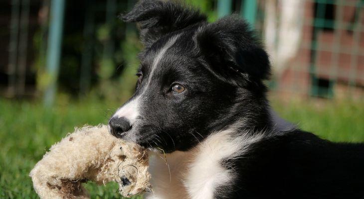 opvoeden border collie pup