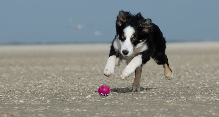 border collie pup spelletjes
