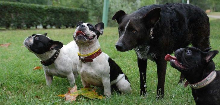franse bulldog vereniging
