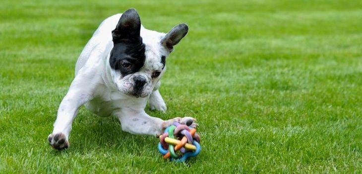 karakter franse bulldog