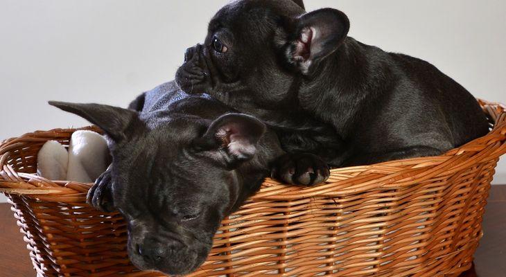franse bulldog kennel