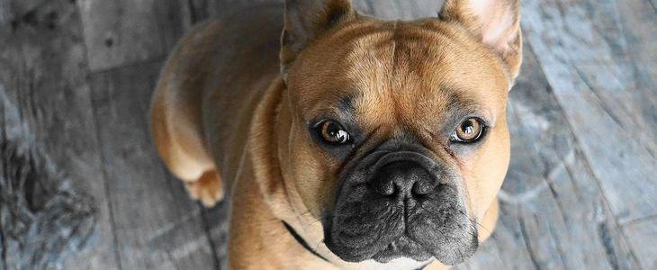 franse bulldog fawn