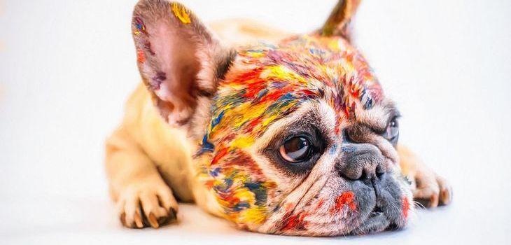 kleuren franse bulldog