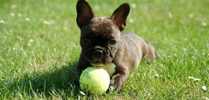 franse bulldog pup kopen
