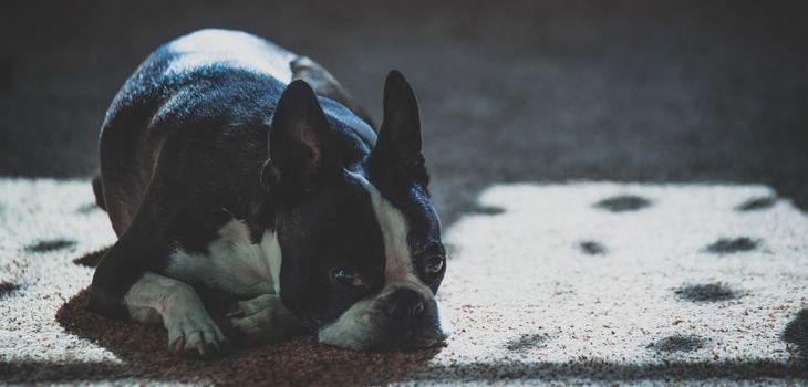 herplaatsing franse bulldog