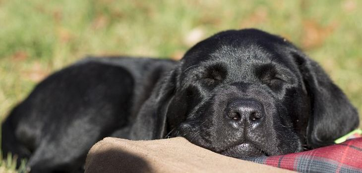 Wanneer wordt een pup rustiger