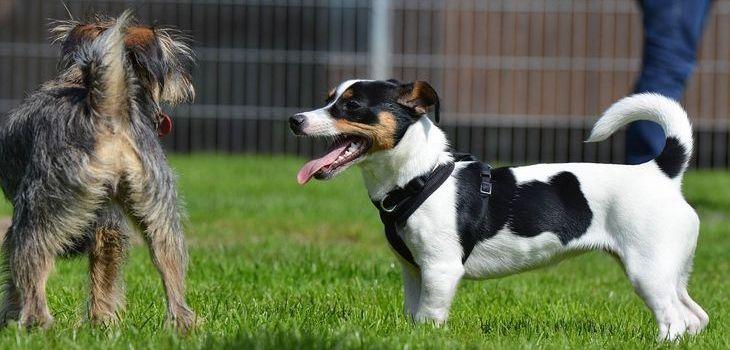 jack russel met andere honden