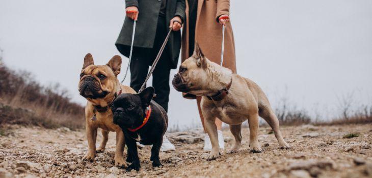 franse bulldog wandelen