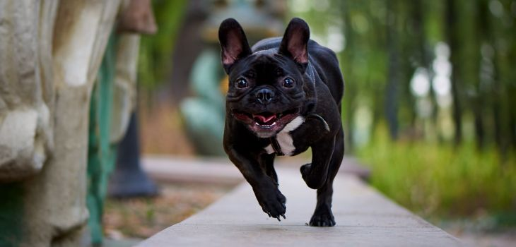 franse bulldog activiteit