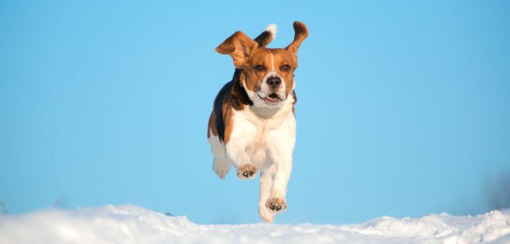 Beagle aan het rennen