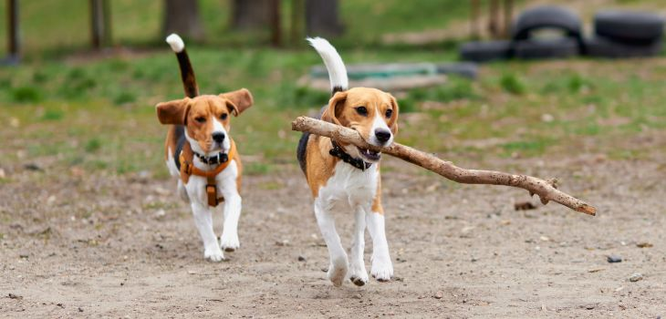 beagle heeft genoeg bewegng