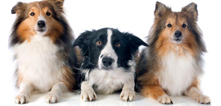 Border collie met andere honden