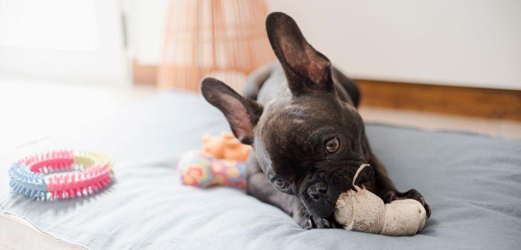 alleen franse bulldog