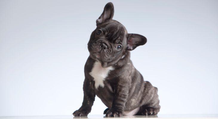 franse bulldog is alleen