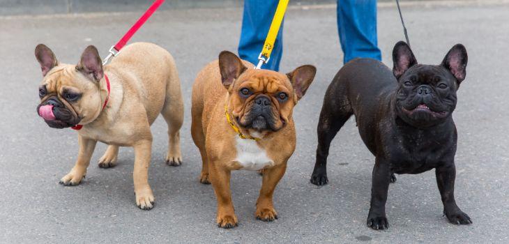 franse bulldog gezelschap