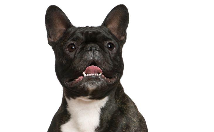 franse bulldog pup bijt