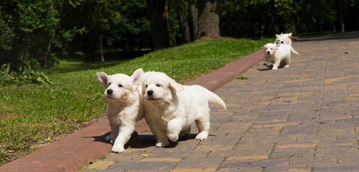 ontwikkeling golden retriever pup