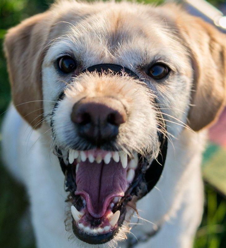agressieve labrador