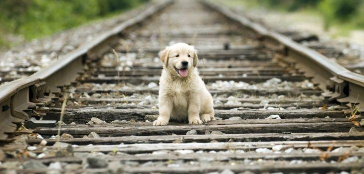 groeicurve golden retiever pup