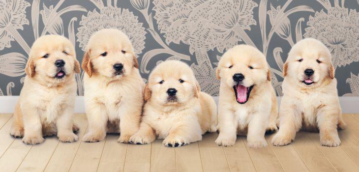 golden retiever pup groeicurve