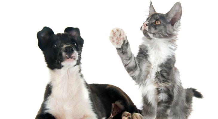 Border collie en kat samen