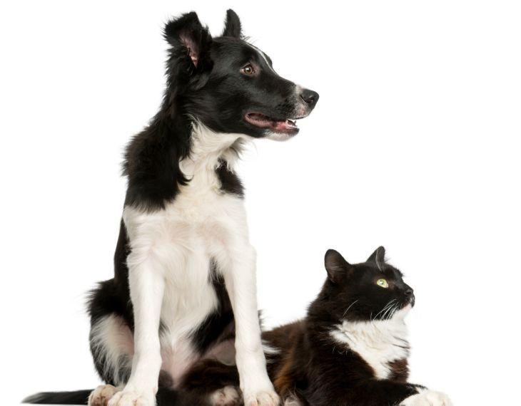 border collies en katten met elkaar