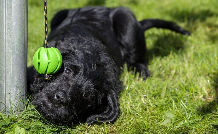 labradoodle puppy training tips
