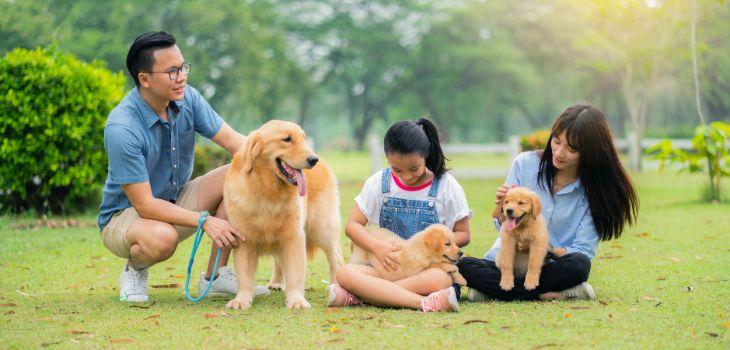 hoeveel puppy's golden retriever