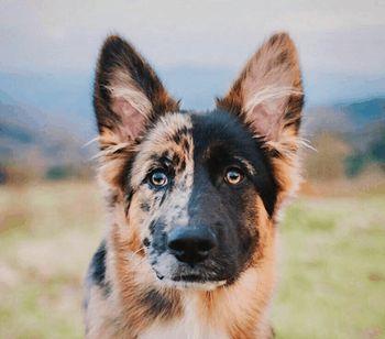 duitse herder australian shepherd mix